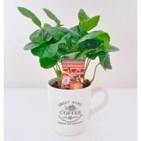 Кофейное дерево 15см