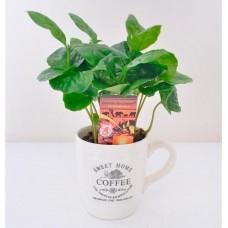 Кофейное дерево arabica 15см