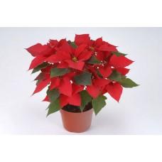 Пуансетия Рождественская 50см