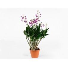 Орхидея Дендробиум  Berry Oda 40см
