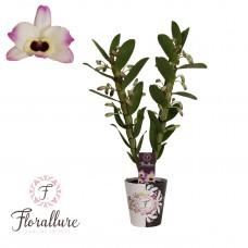 Орхидея Дендробиум Nobile 50см