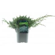 Можжевельник чешуйчатый Blue Carpet d30 см