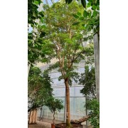 Буцида Терминалия Воздушное дерево Bucida buceras 10 метров pot140