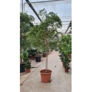 Буцида Терминалия Воздушное дерево Bucida buceras 3 метра pot55