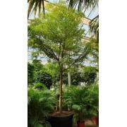 Буцида Терминалия Воздушное дерево Bucida buceras 6 метров pot110