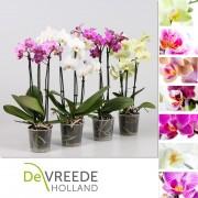 Орхидея Фаленопсис multi mix p9 h35