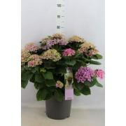 "Гортензия macrophylla  ""Marine"" 15+"