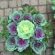 Капуста 15см Brassica