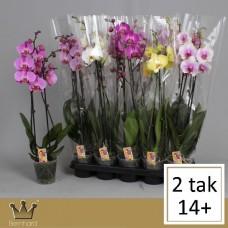 Орхидея Фаленопсис 2 ствола 55см mix