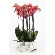 Орхидея Фаленопсис  'Ant Narbonne' 55см