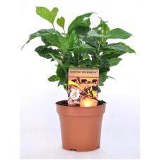 Кофейное дерево arabica 25см