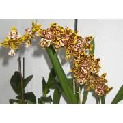 """Орхидея """"Odentoglossum"""""""
