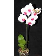 Орхидея Фаленопсис Ред Липстик 40см