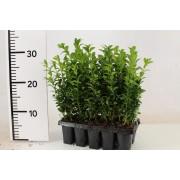 Самшит вечнозеленый 10шт 20см