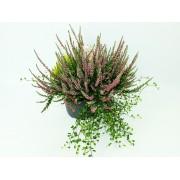 Вереск Calluna vulg. Garden heidemix in sorts p20 h30
