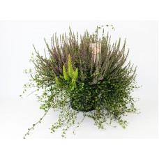 Вереск Calluna vulg. Garden heidemix in sorts p23 h45