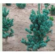 Сосна parviflora 'Blue Giant'  c3 H30см