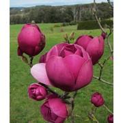 Магнолия Black Tulip c4.5 H60см
