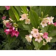 Вейгела цветущая Марджори «Marjorie» c2 H25см