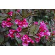 Вейгела цветущая Нана Пурпуреа (розовая) c2 H25см