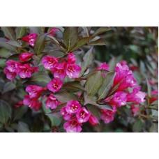 Вейгела цветущая Нана Пурпуреа (розовая) c3 H45см