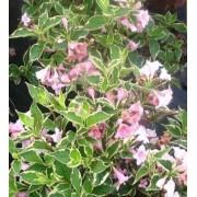 Вейгела цветущая Нана Вариегата (бело-розовая)  c2 H25см