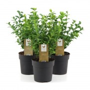 Самшит вечнозеленый c1 h30-35