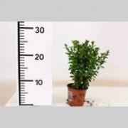 Самшит вечнозеленый p9 h15-20