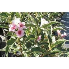 Вейгела цветущая Сюзанн (светло-розовая) c2 H25см