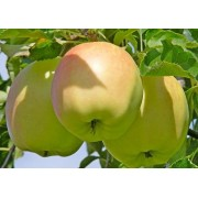 Яблоня Пепинка золотая