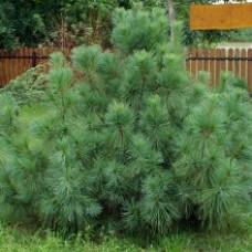 Сосна Веймутова Радиата( Pinus strobus Radiata) h80 c15