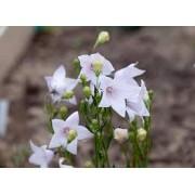 Платикодон  Astra White c1 h25