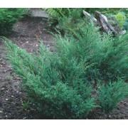 Можжевельник казацкий (Juniperus sabina)  d25см
