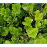 Самшит вечнозеленый c3 h45-50