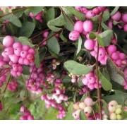 Снежноягодник розовый 50-70 см