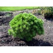 Сосна densiflora Jane Kluis c3 H30см
