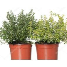Тимьян Thymus citr. p13