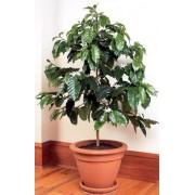 Кофейное дерево 30см