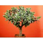 Крассула, денежное дерево 18см