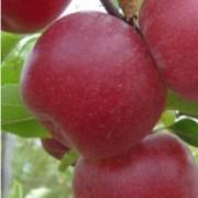 Яблоня Макинтош зимняя