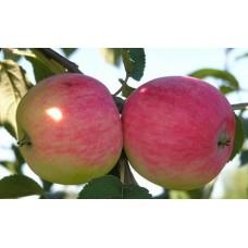 Яблоня Мельба ранняя