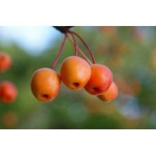 Яблоня Райская краснолисная