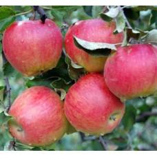 Яблоня Слава Победителям ранне-осенняя