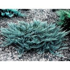 Можжевельник горизонтальный Blue Chip d50-70см