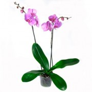 Орхидея Фаленопсис 2 ствола 60см