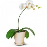 Орхидея Фаленопсис 1 ствол 50см