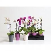 Орхидея Фаленопсис мини 25см