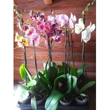 Орхидея Фаленопсис p12 h65см