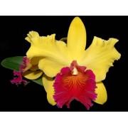 Орхидея Каттлея 35см
