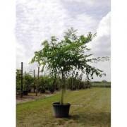 Бундук канадский, мыльное дерево 150-180см 3года